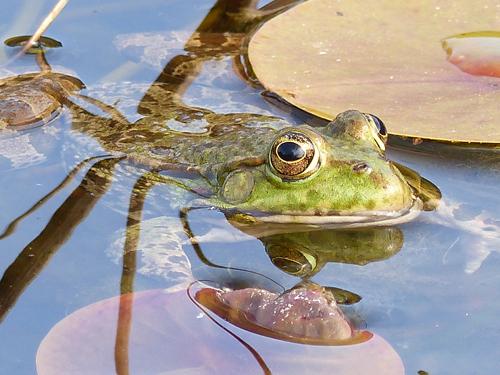 Ville de Nancy - Amphibien au jardin botanique