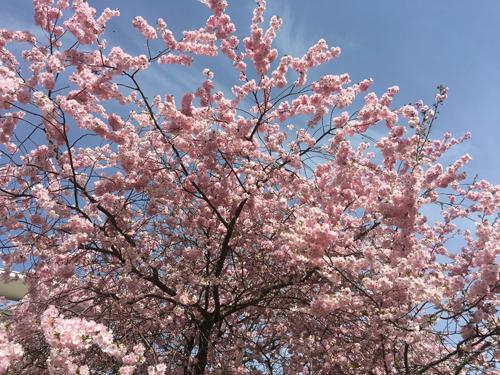 Ville de Nancy - Cerisiers du Japon en fleur parc Verlaine