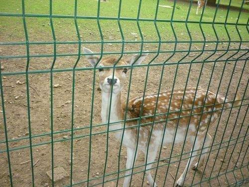 Ville de Nancy - Daim du zoo de la Pépinière