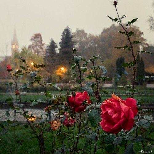 Ville de Nancy - Rose de la pépinière