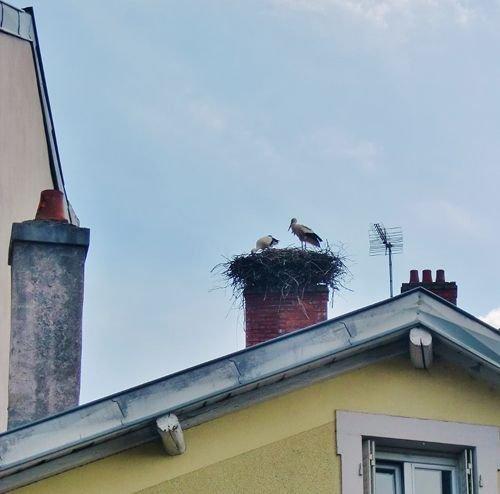 Ville de Nancy - Couple de cigognes